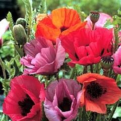 Oriental Poppy 'Fruit Punch' / Papaver orientale / Seeds