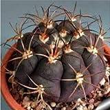 20pcs/Bag Ball Cactus, gymnocalycium Mixed Succulent Plant Seeds DIY Home garden3