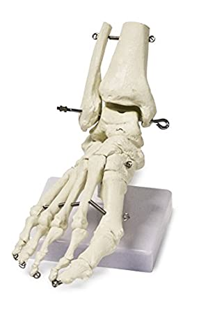 Walter Products B10211 Human Foot Skeleton Model on Base, Life Size ...