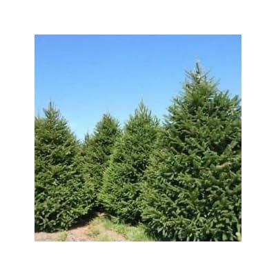 Norway Spruce Tree Seeds (Picea abies) 40+Seeds : Garden & Outdoor