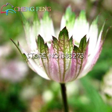 Amazon.com : 100 Seeds / Bag Astrantia Seeds Garden Bonsai Seed Ruby ...