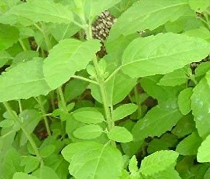 SelpLine - Amrita TULSI (OCIMUM TENUIFLORUM) Live Plant: Amazon.in ...