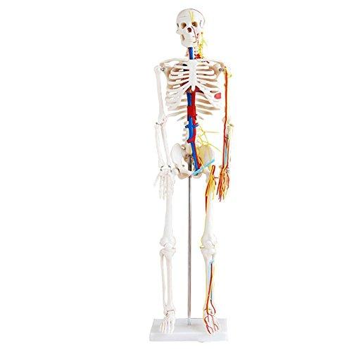 Muskulöser Skelett Modell, 1/2 Life Größe, 85 cm, Muskel lackiert ...