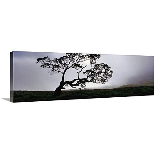 GREATBIGCANVAS Gallery-Wrapped Canvas Entitled Silhouette of a Koa Tree, Mauna Kea, Kamuela, Big Island, Hawaii by 36