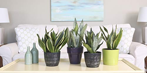 Costa Farms Snake Plant, Mother-in-Law's Tongue, Sansevieria, 4-inch Grow Pot, Easy to Grow, 4-Pack by Costa Farms (Image #2)