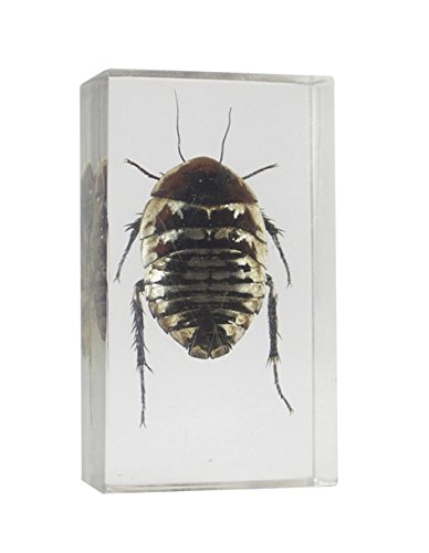 Real Bugs Polyphaga Cockroach in Resin