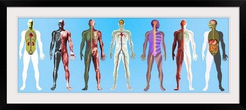 GreatBIGCanvas ''Human anatomy,artwork'' by Mehau Kulyk Photographic Print with Black Frame, 48'' x 17''