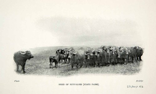 1909 Print Hungarian Hungary Buffalo Herd Livestock Bison Wildlife Animals - Original Halftone Print from PeriodPaper LLC-Collectible Original Print Archive