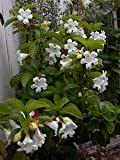 12 Seeds Beaumontia Grandiflora (Easter Lily Vine, Herald's Trumpet, Nepal Trumpet)