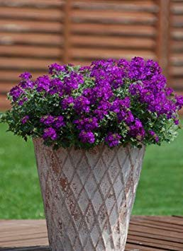 . Flower Seeds: Mosquito Plant(Mosquito Repellent) Blue Flower Everblooming Flowers (11 Packets) Garden Plant Seeds