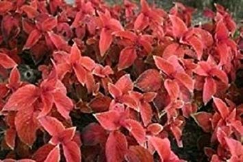 Annual Coleus (ANVIN Germination Seeds:50 Coleus Wizard Sunset Flower Seeds/Annual)