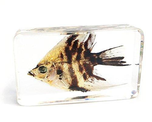 [해외]QTMY 생물학 과학 월드 컬렉션 진짜 곤충 표본 어린이용 문 교육 (물고기) / QTMY Biological Science World Collection Real Insect Specimens Children`s Paperweight Education (Fish)