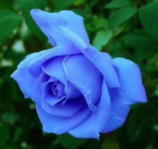 10 Blue Rose Seeds