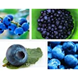 200pcs/lot Top Hat Blueberry Seeds ,fruit seeds Home Container Bonsai rich in Anthocyanin Bonsai Seed