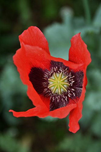 Laminated Poster Red Poppy Close Flowers Print