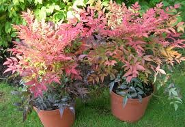 Firepower Dwarf Nandina ornamental shrub LIVE PLANT 'Heavenly Bamboo' TOP SELLER