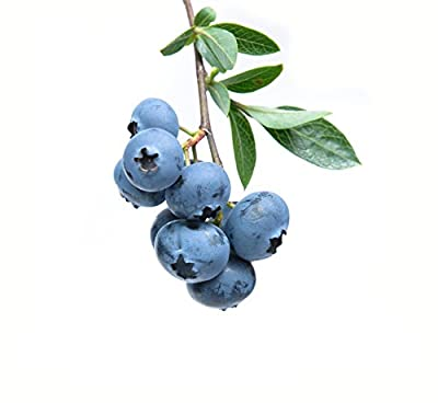 Blueberry Bush Seeds - Bonsai Edible Fruit - Pack of 200 Seeds