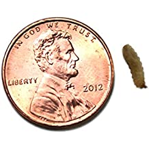 Phoenix Worms (Small 150 Count)