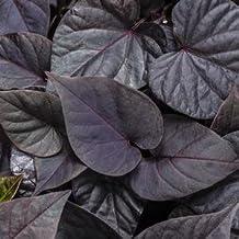 "Ipomoea-Sweet-Caroline-Sweetheart-Jet-Black - 4 1/2"" Pot (Annual)"