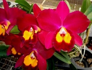Sale - 3 Large Live Orchids Plants(Cattleya,Oncidium,Dendrobium) by Angels Orchids (Image #8)