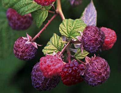 1 Royalty Summer - Purple Raspberry Plant - Everbearing - Organic Grown - Ready for Spring Planting