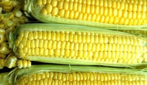 Kandy Korn Sweet Corn - Hybrid (se) Maize Vegetable Treated Seeds (¼oz to 8oz) -