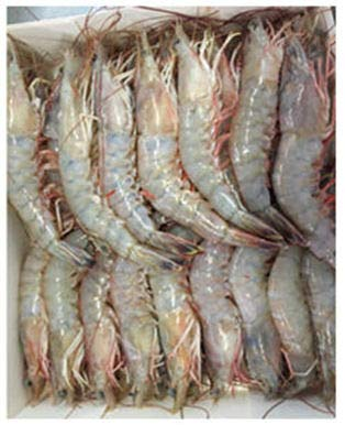 WILD CAUGHT GULF OF MEXICO SHRIMP HEAD-ON SHELL-ON U/10 DOMESTIC WHITE