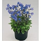 ALPINE BREEZE BLUE F1 CAMPANULA 20 MULTIPLTD SEEDS BLOOMS 1st YEAR W/O COLD TRT.