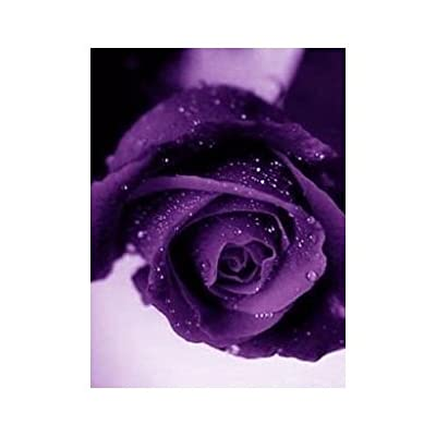 SODIAL(TM) Purple Rose Rare!!! 5 Seeds !Great Color!