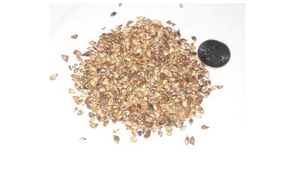 Amazon Com Miyu 500 Japanese Larch Bonsai Seed Pack Larix Leptolepsis Home Kitchen