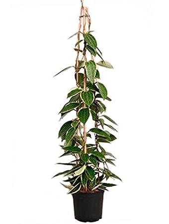 Zimmerpflanzen Für Sonnige Standorte wachsblume 90 110 cm im 19 cm topf blühende zimmerpflanze sonniger