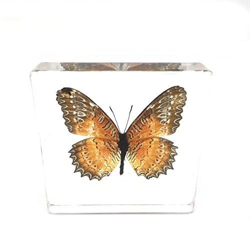 진짜 나비 견본 견본 문진 견본 중량 모음 전시 (3x3x0.6)/Real Bu..