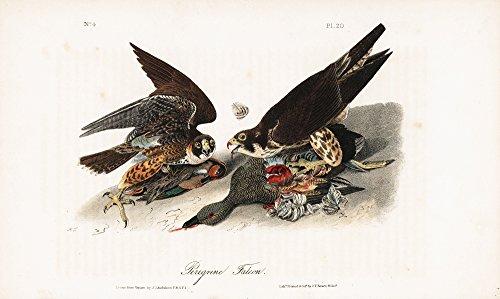 Audubon Octavo Prints - Peregrine Falcon Hand-Colored Plate