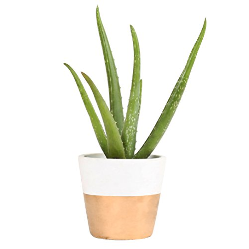 Costa Farms Aloe, Live Indoor Plant, 12 to 14-Inches Tall, Ships in Modern Ceramic Planter, Fresh From Our Farm, Excellent Gift or Home Décor (Aloe Green Vera Plant)