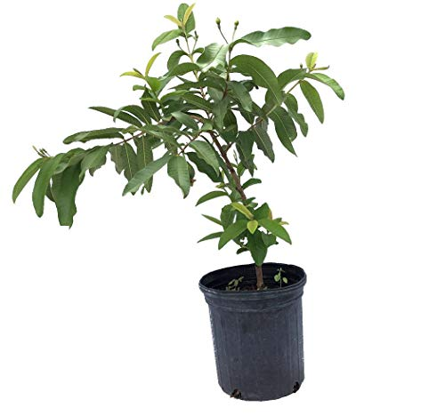 Guava Tree Rose Variety Grafted, 2 Feet Tall, 3-gal Container from Florida ()