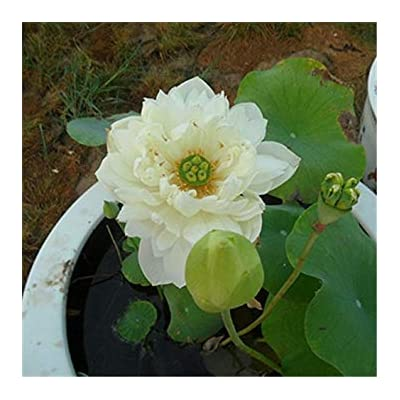 Hot Sale!!! 10pcs Lotus Seeds 8 Kinds Bowl Mixed Colors Flower Water Lily 100% Germination Of Aquatic Plant : Garden & Outdoor