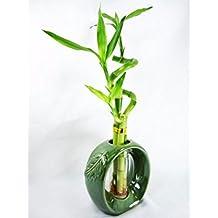 9GreenBox - Live Spiral 3 Style Lucky Bamboo Plant Arrangement w/ Green Round Ceramic Vase