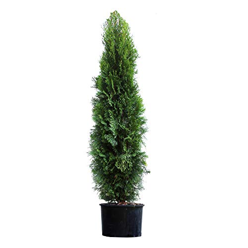 Emerald Green Arborvitae Evergreen Trees- Perfect for Privacy- Large, Developed Trees with Advanced Root Systems - 4-5 ft. | No Shipping to AZ