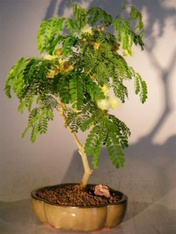Bonsai Boy's Flowering Brazilian Raintree Bonsai Tree - Medium pithecellobium tortum by Bonsai Boy (Image #1)
