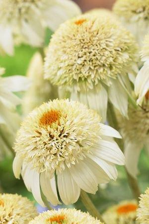 Amazon milkshake coneflower perennial echinacea white milkshake coneflower perennial echinacea white live plant gallon pot mightylinksfo