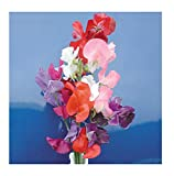 David's Garden Seeds Flower Sweet Pea Mammoth Choice Mix SL1408 (Multi) 50 Non-GMO, Open Pollinated Seeds