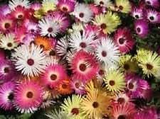 100+ Magic Carpet Mix Ice Plant Mesembryanthemum / Perennial Flower Seedsd