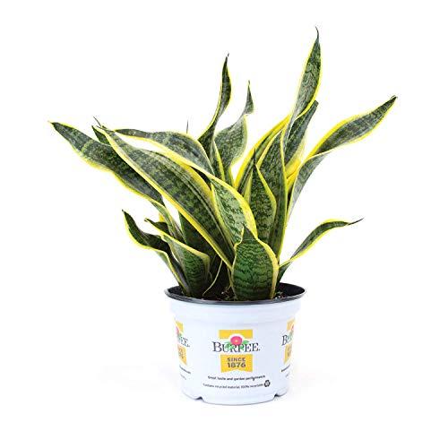 "Burpee Sanseviera laurentii Golden Snake Indirect Medium Light | Live Easy Care Indoor House Plant, 6"" Pot"