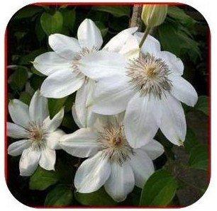 Klematis Blumen-Mix, Waldrebe Pflanzensamen, nicht die Klematis verwurzelt, 30 Samen / bag