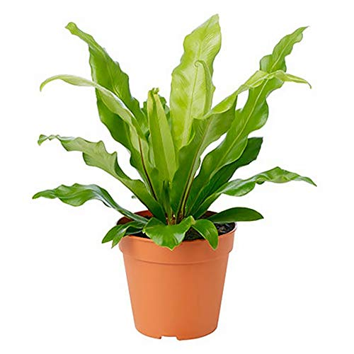 "AMERICAN PLANT EXCHANGE Birds Nest Fern Japanese Live Plant, 6"" Pot, Indoor/Outdoor Air Purifier"