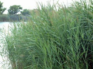 Common Reed Phragmites Australis Seed Packet Wetland