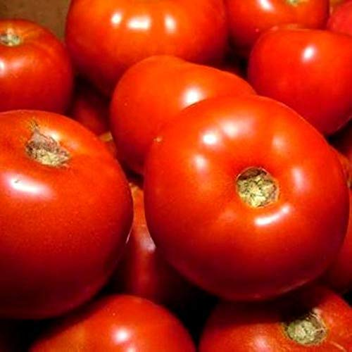 Rutger's Tomato Seeds for Growing Open Pollinated Heirloom bin177 (1,200 Seeds)