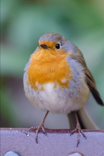 Plump Robin Redbreast Bird Journal: 150 Page Lined Notebook/Diary
