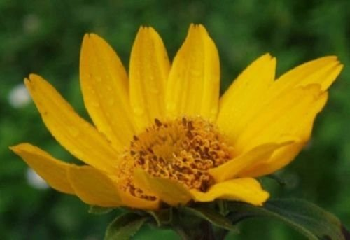 50+ Heliopsis False Sunflower/Good in Poor Soil and Hard Clay/Perennial Flow