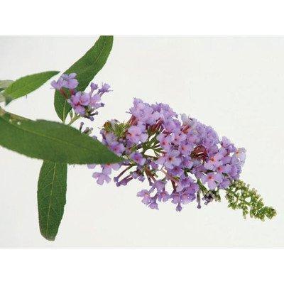 ブッドレア(フジウツギ)紫色花 香りよし 植木 苗木 落葉低木 B00SR4AJKC